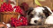 زغال اخته برای سگ ؛ آیا سگ ها می توانند میوه زغال اخته بخورند