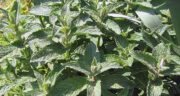 شکل گیاه پونه کوهی ؛ اطلاعاتی درباره مشخصات ظاهری پونه کوهی