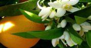 طرز نگهداری بهار نارنج در فریزر ؛ چه کار کنیم خراب نشود؟
