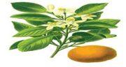 طرز چیدن بهار نارنج ؛ طرز صحیح چیدن و مصرف بهار نارنج