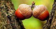 عوارض بلوط ؛ مصرف میوه بلوط چه مضراتی برای بدن دارد