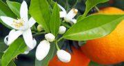 عوارض بهار نارنج ؛بالا رفتن فشار خون و ضربان قلب