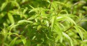 عوارض به لیمو ؛ آلرژی و حساسیت و کلیه و دوران شیردهی