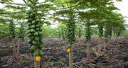 فصل میوه پاپایا ؛ در کدام فصل های سال میوه پاپایا در بازار موجود می شود
