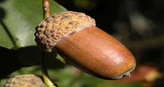 فواید بلوط ؛ میوه بلوط سرشار از مواد مغذی و چربی های مفید است
