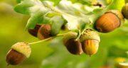 فواید خوردن بلوط ؛ تاثیر مصرف میوه بلوط تازه برای تقویت سلامتی