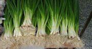 فواید پیازچه برای مو ؛ درمان شوره سر و سلامت موها با خوردن پیازچه