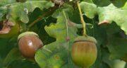 مضرات میوه بلوط ؛ استفاده از میوه بلوط و مضراتی که برای بدن دارد