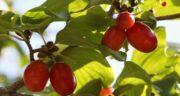 مضرات هسته زغال اخته ؛ آیا هسته میوه زغال اخته کاربردی دارد