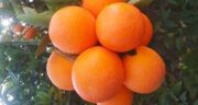 مضرات پرتقال در بارداری ؛ عوارض خوردن میوه پرتقال در دوران بارداری