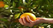 مضرات پرتقال نارس ؛ تهدید سلامتی و خطرات خوردن پرتقال نارس