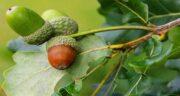میوه بلوط را چگونه بخوریم ؛ روش صحیح مصرف میوه بلوط