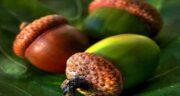 میوه بلوط ؛ آشنایی کامل با ارزش غذایی و خواص میوه بلوط