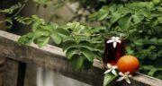 نحوه نگهداری بهار نارنج ؛ در چه مکان و چه دمایی نگه داشته شود؟