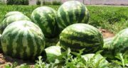 هندوانه و یبوست ؛ وجود آب فراوان در هندوانه باعث درمان یبوست می شود