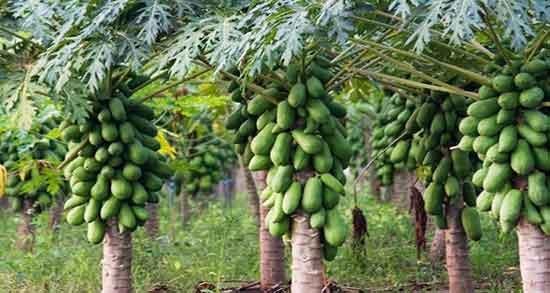 پاپایا در چه فصلی است ؛ فصل برداشت میوه پاپایا چه زمانی است