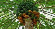 پاپایا چیست ؛ میوه پاپایا یا خربزه درختی میوه ای خوشمزه به رنگ نارنجی یا زرد