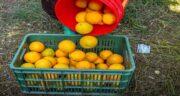 پرتقال برای چه فصلی است ؛ فصل کاشت و برداشت پرتقال چه زمانی است