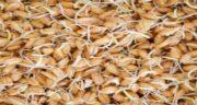 پودر جوانه گندم برای چاقی کودکان ؛ افزایش وزن در کودکان با جوانه گندم