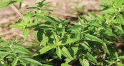 پونه برای چی خوبه ؛ فواید درمانی گیاه پونه برای بیماری ها