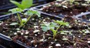 کاشت جعفری ؛ آموزش کاشت گیاه جعفری در گلدان و در باغچه