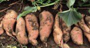 گیاه سیب زمینی شیرین ؛ بررسی ارزش غذایی و خواص سیب زمینی شیرین