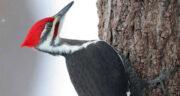 تعبیر خواب دیدن پرنده دارکوب ، معنی دیدن پرنده دارکوب در خواب های ما چیست