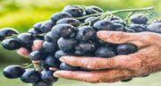 انگور سیاه برای اسهال ؛ تاثیر خوردن انگور سیاه برای درمان اسهال