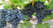 انگور سیاه برای معده ؛ درمان التهاب و درد معده با خوردن انگور سیاه