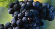 انگور سیاه و اسهال ؛ درمان خانگی اسهال مزمن با استفاده از انگور سیاه