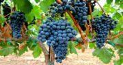 انگور سیاه و خواص آن ؛ فواید و خاصیت خوردن انگور سیاه برای سلامتی