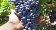 انگور سیاه و سرماخوردگی ؛ خواص و مضرات خوردن انگور سیاه برای سرماخوردگی