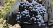 انگور سیاه کردستان ؛ بررسی خواص انگور سیاه کردستان معروف به طلای سیاه کردستان