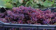 انگور قرمز ریز ؛ وجود آنتی اکسیدان در انگور قرمز مفید برای بدن