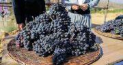 خواص انگور سیاه برای کرونا ؛ تاثیر خوردن انگور سیاه برای مقابله با ویروس کرونا