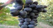 خواص انگور سیاه در طب سنتی ؛ خوردن انگور سیاه چه فوایدی دارد