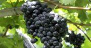 خواص انگور سیاه چیست ؛ بهبود و تقویت عملکرد مغز از خواص انگور سیاه