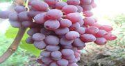 خواص انگور قرمز بی دانه ؛ فواید بسیار زیاد انگور قرمز بدون هسته برای سلامتی