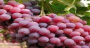 خواص انگور قرمز در طب سنتی ؛ نظرات متخصصان طب سنتی درباره خواص انگور قرمز
