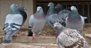 خواص برنج برای کبوتر ؛ برنج سفید بهترین و مقوی ترین غذا برای کبوتر