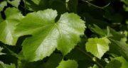 خواص برگ انگور طب اسلامی ؛ خاصیت درمانی استفاده از برگ درخت انگور