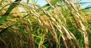 خواص سبوس برنج برای دام ؛ مزایای استفاده از سبوس برنج در تغذیه دام