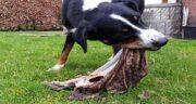 خواص سیرابی برای سگ ؛ آیا سگ ها از طعم و بوی سیرابی خوششان می آید
