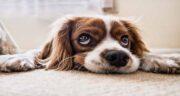 سویا برای سگ ؛ آیا می توان به سگ ها سویا داد؟