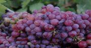 طبع انگور یاقوتی قرمز ؛ آیا می دانید طبع انگور یاقوتی چگونه است