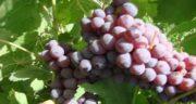عوارض انگور قرمز ؛ خوردن انگور قرمز چه عوارضی برای بدن دارد