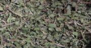 عکس آویشن معمولی ؛ مشخصات گیاه آویشن چگونه است