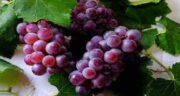 فواید انگور قرمز در طب سنتی ؛ خاصیت شگفت انگیز انگور از زبان امام رضا