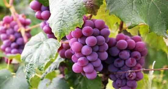 مضرات انگور قرمز ؛ خوردن انگور قرمز چه ضرری برای بدن دارد