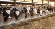 مضرات سبوس برنج برای گاو ؛ سبوس برنج در تغذیه گاو چه عوارضی دارد
